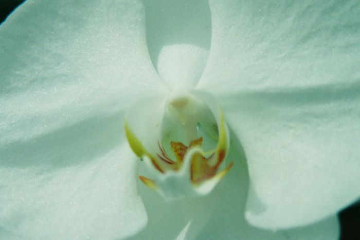 Shapes in a White Orchid